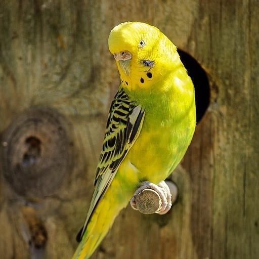 muhabbet kuş1
